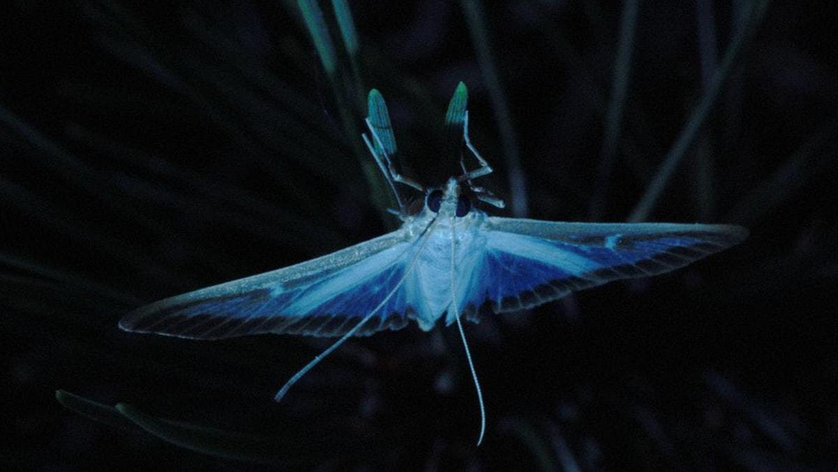 Un papillon du film Pyrale
